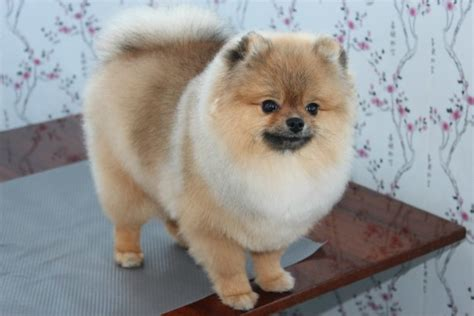 pomeranian haircut styles pomeranian with lion haircut haircuts models ideas