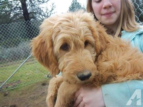 goldendoodle puppies for sale az goldendoodles goldendoodle puppies for sale in yuma arizona classified