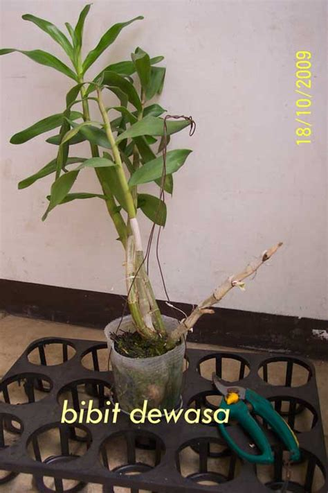 Pot Anggrek Plastik Bening jual dendrobium gatton sunray sold out anggrekayah