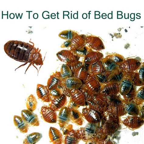 rid  bed bug bites naturally  complete guide  kill bed bugs
