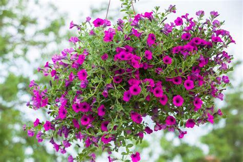 fiori per balconi soleggiati fiori da balcone pendenti i pi 249 belli per l estate donnad