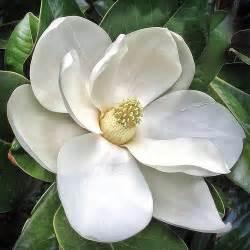 southern magnolia flower magnolia grandiflora 20130112 flickr photo sharing
