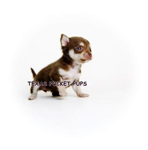 teacup pomeranian puppies for sale in dallas tx dallas tx teacup chihuahua puppies for sale dallas breeder autos weblog