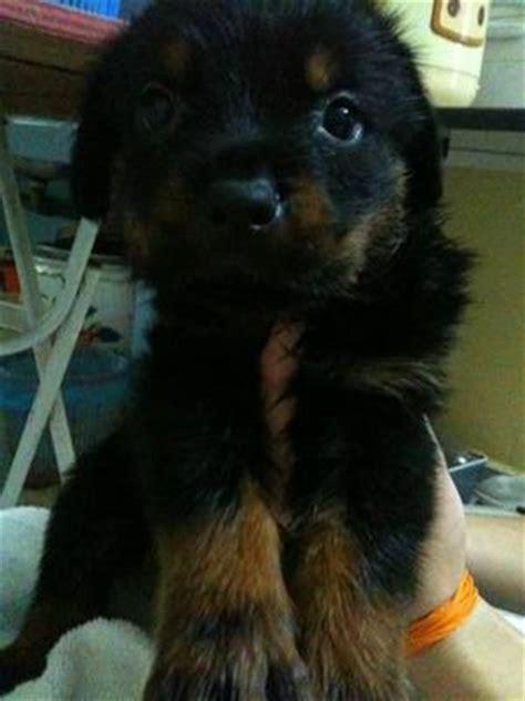 fluffy rottweiler rottweiler puppy sold 7 years 7 months 2007ch fluffy rottweiler from sunway