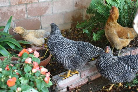 alternative to heat l for chickens sunny simple life how to keep chickens cool in summer