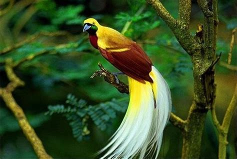 burung cendrawasih bird of paradise our country
