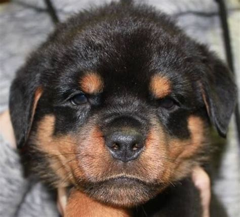 best dog house for rottweiler 1000 ideas about rottweiler puppies on pinterest