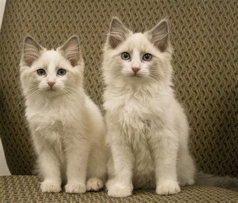 2 ragdoll cats ragdoll kittens for sale