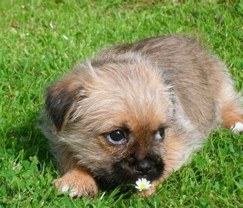 shih tzu pug chihuahua mix half pug half chihuahua and breeds picture