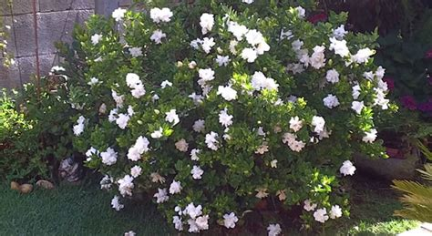 Gardenia Shrub Gardenia August Adorable White Bloomer With