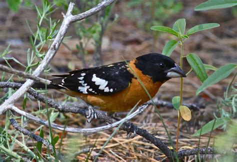 black headed grosbeak at bandelier national monument