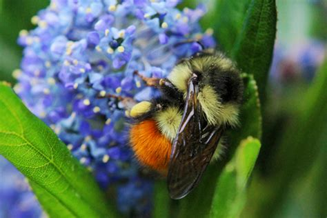 black bumble bee california the dazzling black tailed bumble bee honey bee suite