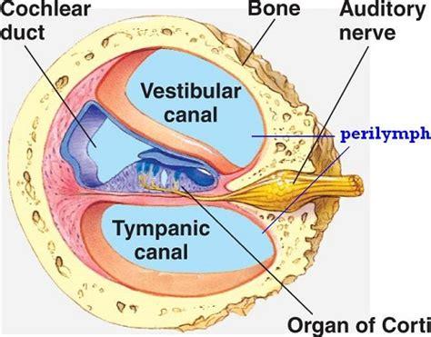 wie baue ich ein size plattformbett the cochlea diagram humandiagram info