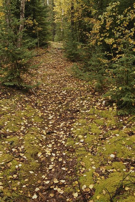 a moss covered path in a pine forest photograph by raymond