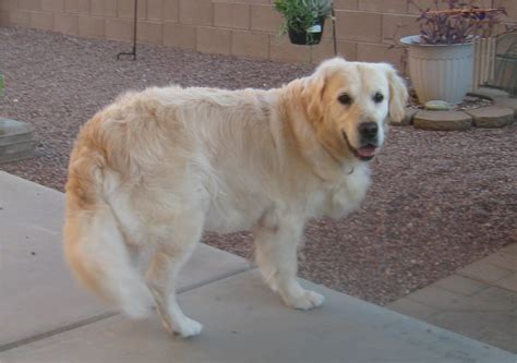 golden retriever rescue az bailey southern arizona golden retriever rescue