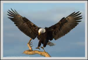 Bald eagle soaring bald eagle a thousand eagles bald eagle photo bald
