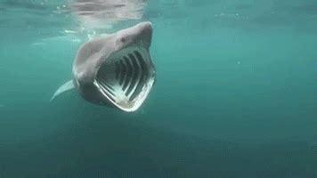 Gif Animals Science Sharks Biology Marine Biology Behavior - basking shark biology gif find share on giphy