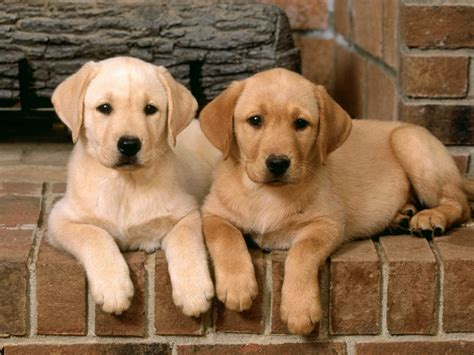 golden retriever and labrador retriever labrador retriever puppies labrador puppies