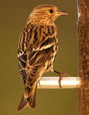 wild birds unlimited small brown striped bird on finch feeder