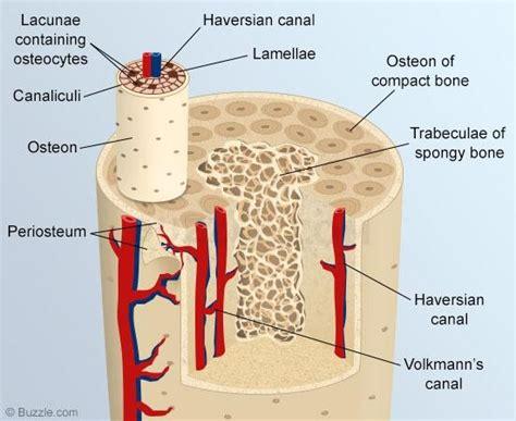 cross section of long bone unit 2 chapter 7 at university of wisconsin la crosse