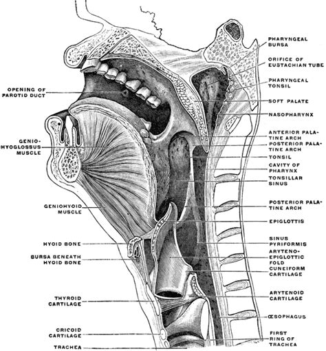sagittal section of the head and neck sagittal section of the head and neck clipart etc