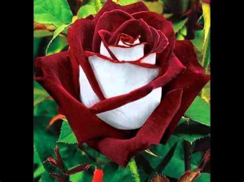 immagini fiori stupendi fiori bellissimi