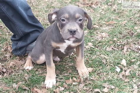 pitbull puppies for sale in iowa american pit bull terrier for sale for 1 100 near southeast ia iowa e2885eed 8a91