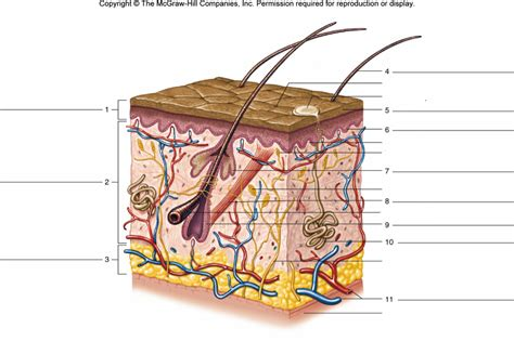 structure of the skin diagram labeled skin structure by georjettej memorize learn and