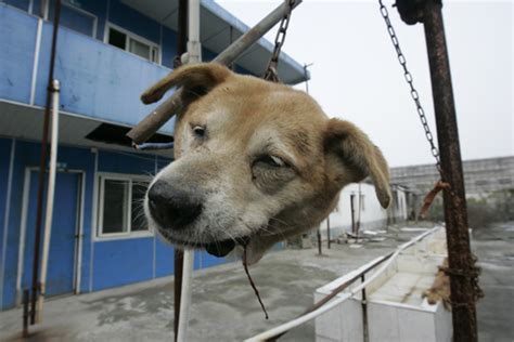dead dogs severed dead s on a frame jiangsu province china alex hofford photography