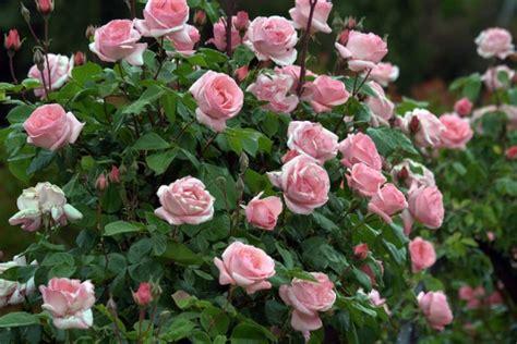 imagenes de jardines y rosas consejos para que tengas los mejores rosales