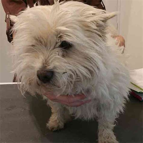 trim cairn terrier face white cairn terrier pet trim grooming gallery sootypaws