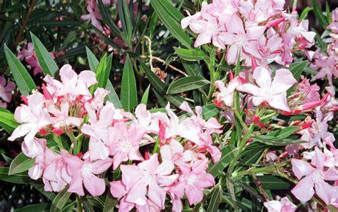 oleander plant pics for gt pink oleander tree