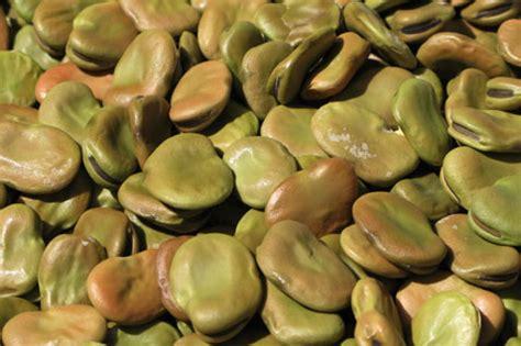 cucinare fave secche le fave legumi risalenti all et 224 bronzo e ferro