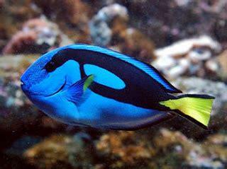 Tang Kecil Merah Hitam oranda aquarium banjarmasin jenis ikan hias yang bagus di