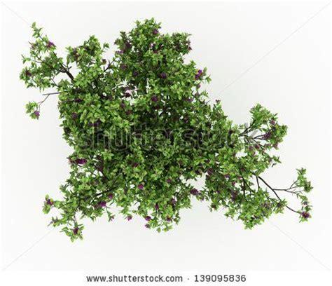 render cloves bush tree  flowers isolated
