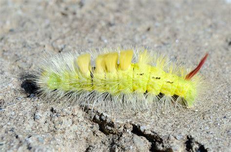 yellow caterpillar gimmeges