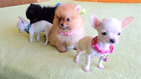 pomeranian and chihuahua pomeranian and chihuahua puppies for sale