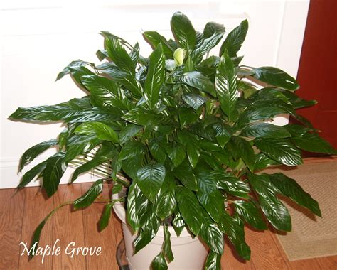 home plant maple grove houseplant makeover