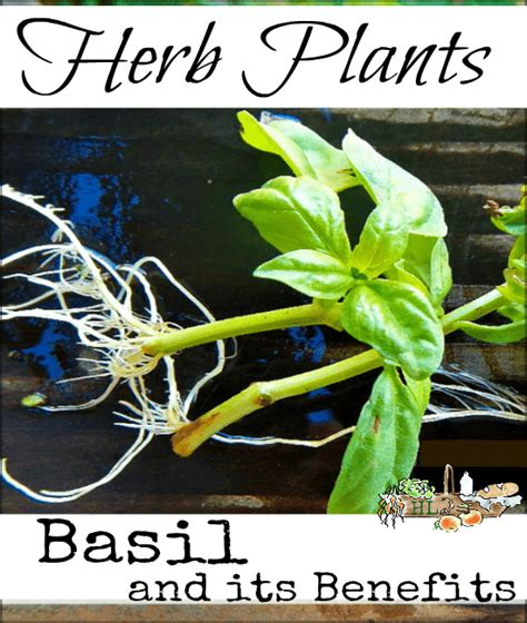 7 of the most liberating benefits of homesteading from desk jockey to survival junkie herb plants basil and its benefits homestead
