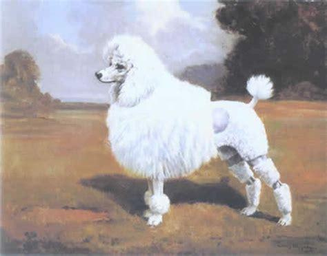 shih tzu for sale hastings michigan poodles stockholm photohome