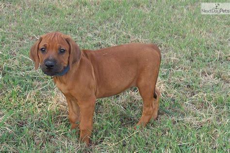 rhodesian ridgeback puppies price rhodesian ridgeback puppy for sale near east tx f206a034 8021