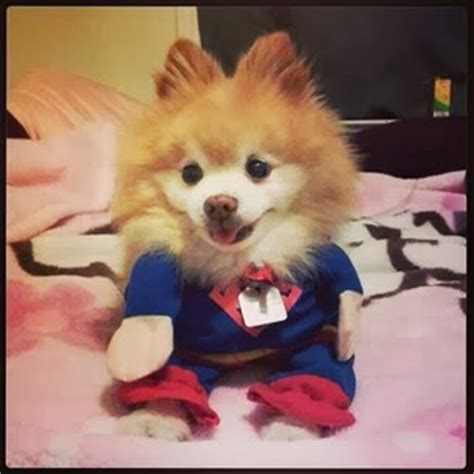 how much is a pomsky puppy how much are pomsky puppies breeds picture