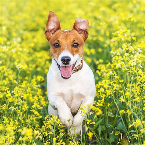 small hypoallergenic dogs hypoallergenic breeds