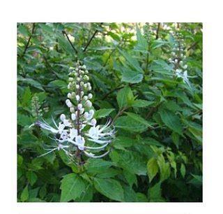 Teh Celup Daun Kumis Kucing jual teh celup herbal daun kumis kucing untuk anyang2an