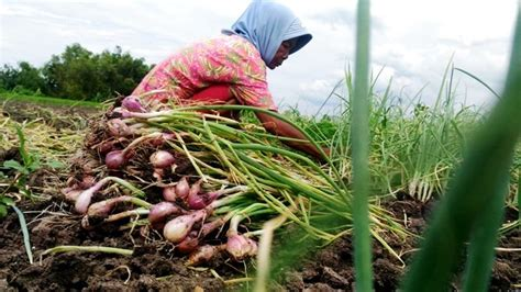 Harga Benih Bawang Merah 2018 melihat usaha petani bawang merah