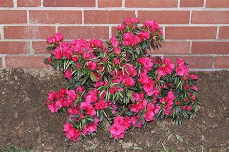 azalea bush colors best 25 azaleas landscaping ideas on weeds