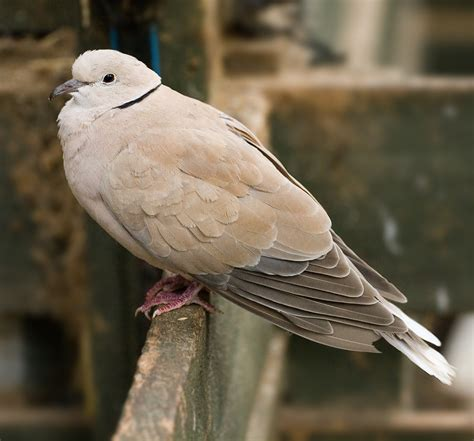 file feral barbary dove jpg wikipedia