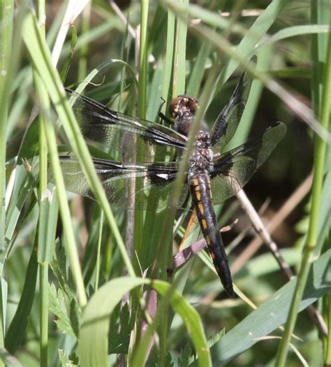Common Dragonflies Of California california dragonflies field guide giveaway varga
