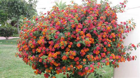 Arbuste A Fleurs by Et Les Autres Arbres Et Arbustes Pepinierelelann