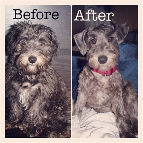 schnoodle style grooming cuts first hair cut schnoodle my schnoodle pinterest